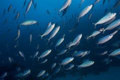 Escola dos peixes foto de stock