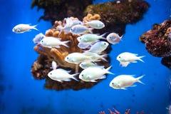 Escola dos peixes Foto de Stock Royalty Free