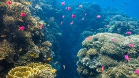 Escola dos peixes corais em um recife de corais raso foto de stock