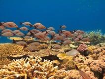 Escola dos peixes e do recife de barreira do coral Imagem de Stock