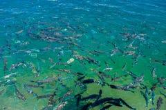 Escola dos peixes Peixes na superfície da água fotografia de stock royalty free