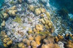 Escola dos peixes no recife Fotografia de Stock