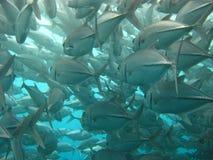 Escola dos peixes que nadam à luz Foto de Stock Royalty Free