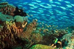 Escola dos peixes sobre o recife coral Foto de Stock Royalty Free
