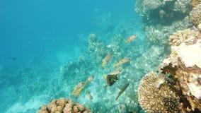 Escola dos snappersfish no coral no Mar Vermelho, Egito filme