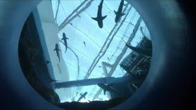 Escola dos tubarões que nadam no aquário filme