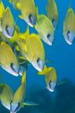 Escola pequena de peixes tropicais amarelos. Imagens de Stock Royalty Free