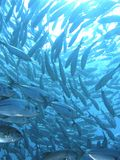 Escola subaquática trevally de peixes Fotografia de Stock