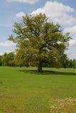 Escolha a árvore isolada imagem de stock royalty free