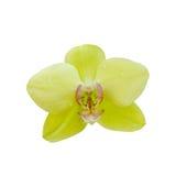 Escolha a flor amarela da orquídea isolada no fundo branco com trajeto de grampeamento Fotos de Stock Royalty Free