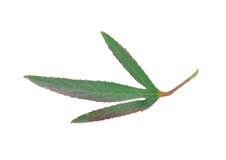 Escolha a folha isolada em um fundo branco Foto de Stock