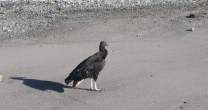 Escolha o abutre preto, atratus do Coragyps, na praia em Costa Rica 4K video estoque