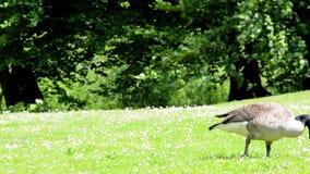 Escolha o domesticus doméstico do anser do ganso que alimenta na grama verde filme