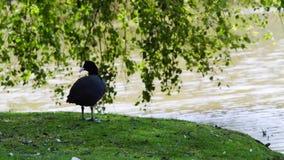 Escolha o domesticus doméstico do anser do ganso que alimenta na grama verde video estoque