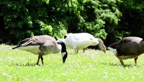 Escolha o domesticus doméstico do anser do ganso que alimenta na grama verde vídeos de arquivo