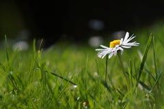 Escolha o Marguerite branco, margarida no prado da grama verde Imagem de Stock