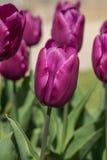 Escolha o príncipe adiantado do roxo da tulipa Foto de Stock