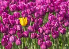 Escolha a tulipa Foto de Stock