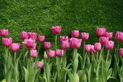 Escolha tulipas adiantadas (o sonho do Natal) Foto de Stock