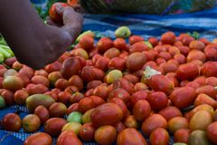 Escolha um tomate no assoalho Fotos de Stock Royalty Free