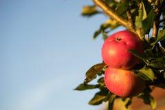 Escolhendo as maçãs vermelhas maduras que penduram na árvore pronta para o outono colhem Imagens de Stock