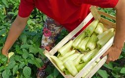 Escolhendo as pimentas maduras vegetais Fotografia de Stock