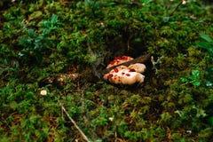 Escolhendo cogumelos e arandos na floresta no verão ou no outono adiantado Dias de verão Os cogumelos e as bagas estão crescendo  imagens de stock