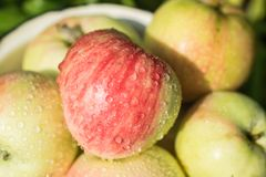 Escolhendo a colheita da maçã suculenta fresca e madura imagens de stock