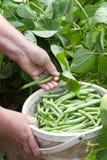 Escolhendo feijões verdes Fotografia de Stock Royalty Free