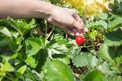 Escolhendo morangos orgânicas frescas na mulher entregue o crescimento Imagens de Stock