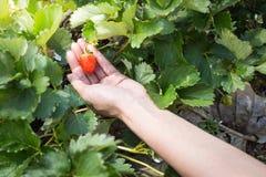 Escolhendo morangos orgânicas frescas na mulher entregue o crescimento Imagem de Stock Royalty Free