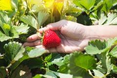 Escolhendo morangos orgânicas frescas na mulher entregue o crescimento Fotos de Stock Royalty Free