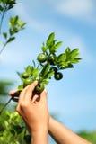 Escolhendo o fruto alaranjado Fotos de Stock Royalty Free
