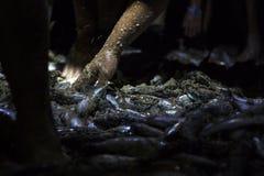 Escolhendo peixes recentemente travados fotos de stock