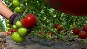 Escolhendo tomates organicamente-crescidos filme