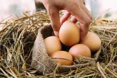 Escolhendo um ovo Fotografia de Stock