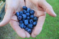 Escolhendo uvas-do-monte gordas, suculentas Imagens de Stock Royalty Free