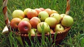 Escolheu recentemente ma??s org?nicas na cesta de vime grande na grama no jardim Conceito da colheita video estoque