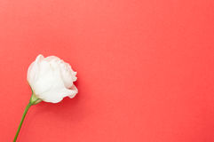 Esconda la tarjeta de felicitación color de rosa Fotos de archivo libres de regalías