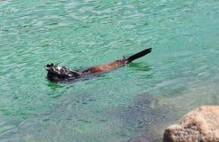Esconde-esconde - lobo-marinho australiano (leão de mar) fotos de stock