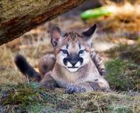 Esconder do gatinho do puma do leão de montanha Fotos de Stock Royalty Free