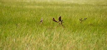 Esconder dos cervos Fotos de Stock