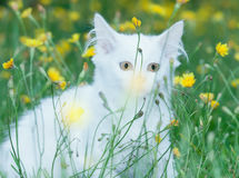 Esconder macio branco bonito do gato fotos de stock royalty free