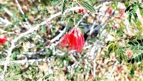 Esconder vermelho da flor Fotos de Stock