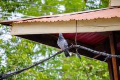 Esconderijo do pombo na linha elétrica fotografia de stock royalty free