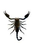 Escorpião Imagem de Stock