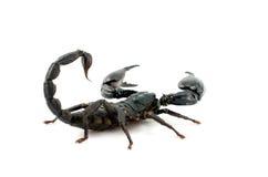 Escorpião Imagens de Stock