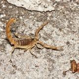 Escorpião amarelo, occitanus de Buthus Fotos de Stock