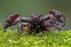 Escorpião do eror do Emp (imperator do pandinus) Foto de Stock Royalty Free