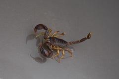 Escorpião em um fundo preto Imagem de Stock